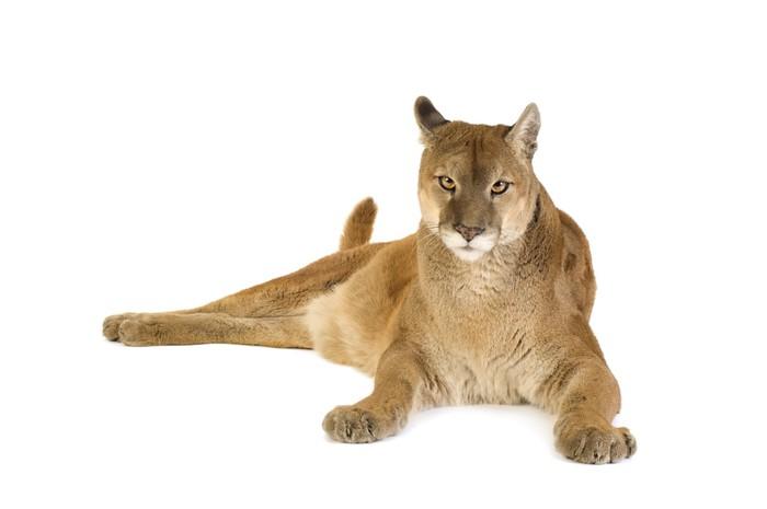 Vinylová Tapeta Puma (17 let) - Puma concolor - Přírodní krásy