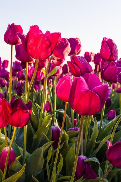 Vinylová Tapeta Tulipány při východu slunce - Domov a zahrada