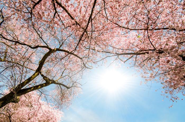 Vinyl Fotobehang Kijk naar het dak van de Japanse kersenbloesem :) - Seizoenen