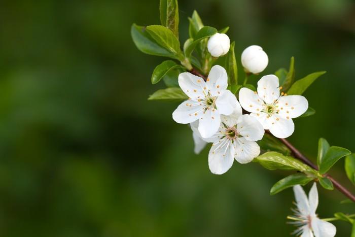 Papel Pintado Estándar Árbol con hermosas flores blancas - Estaciones