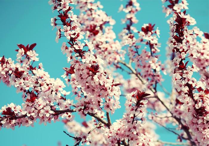 Carta Da Parati Fiori Di Ciliegio : Carta da parati fiore di ciliegio sakura e sky bellissimi fiori