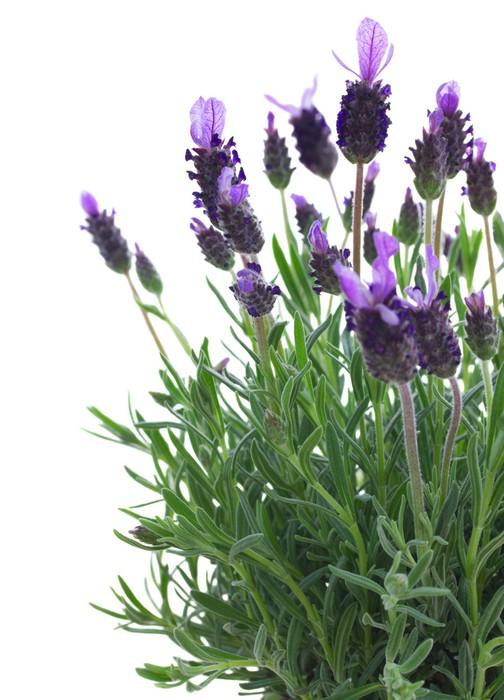 fototapete frische lila lavendel blumen auf wei em pixers wir leben um zu ver ndern. Black Bedroom Furniture Sets. Home Design Ideas