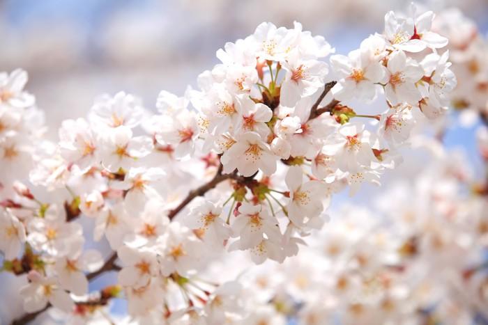 Carta Da Parati Fiori Di Ciliegio : Carta da parati fiore di ciliegio sakura a tokyo in giappone nella
