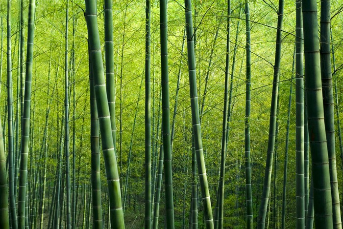 Bamboo Forest Wall Mural Pixers We live to change