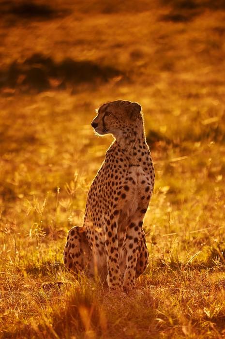 Papier Peint Vinyle Cheetah assis à contre-jour, à l'aube - Mammifères