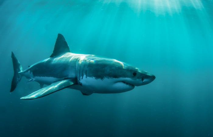 Great white shark underwater Wall Mural Pixers We live to change