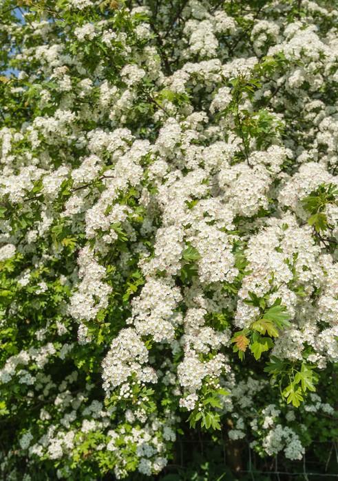 Vinylová Tapeta Bíle kvetoucí keř hlohu v dubnu - Roční období