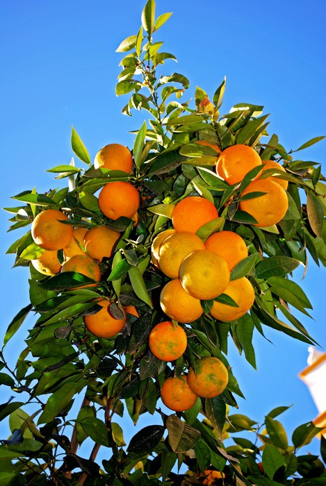 Nálepka Pixerstick Zralé Sevilla pomeranče na stromě, Seville © Arena Photo UK - Evropa