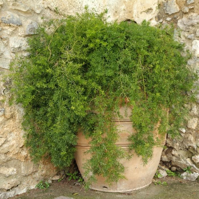 Vinylová Tapeta Chřest kapradina v terakotové květináče na italskou dvorku - Domov a zahrada