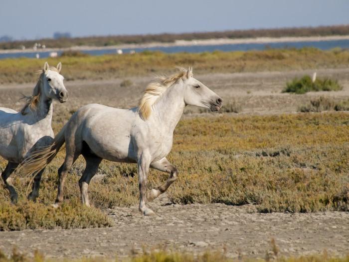 Vinylová Tapeta Letící bílých koní s plameňáky v zádech ve Francii - Savci