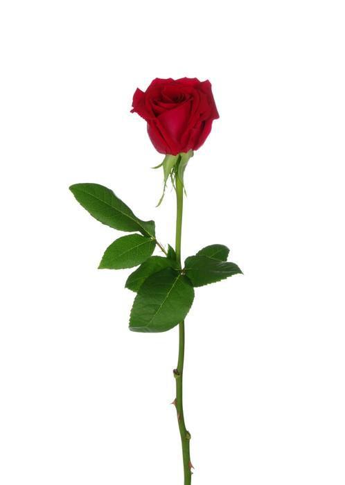 fototapete red rose pixers wir leben um zu ver ndern. Black Bedroom Furniture Sets. Home Design Ideas