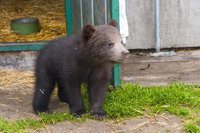 Vinylová Tapeta Medvěd hnědý (Ursus arctos) dítě - Témata