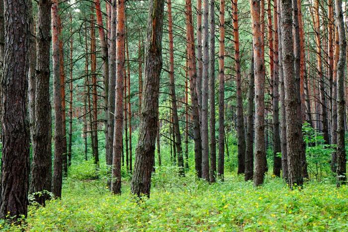 Vinylová Tapeta Borovice lesní po letním dešti - Lesy