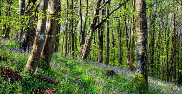 Vinylová Tapeta Magické Bluebell Woods - Evropa