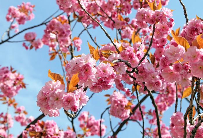 tableau sur toile cerisiers en fleur pixers nous vivons pour changer. Black Bedroom Furniture Sets. Home Design Ideas