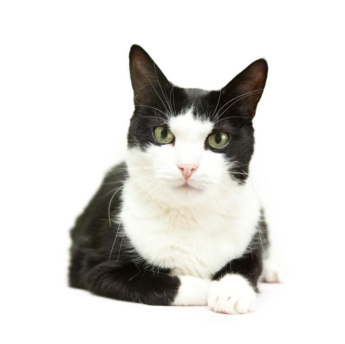 Fotomural Hermoso gato blanco y negro sobre un fondo blanco • Pixers ...