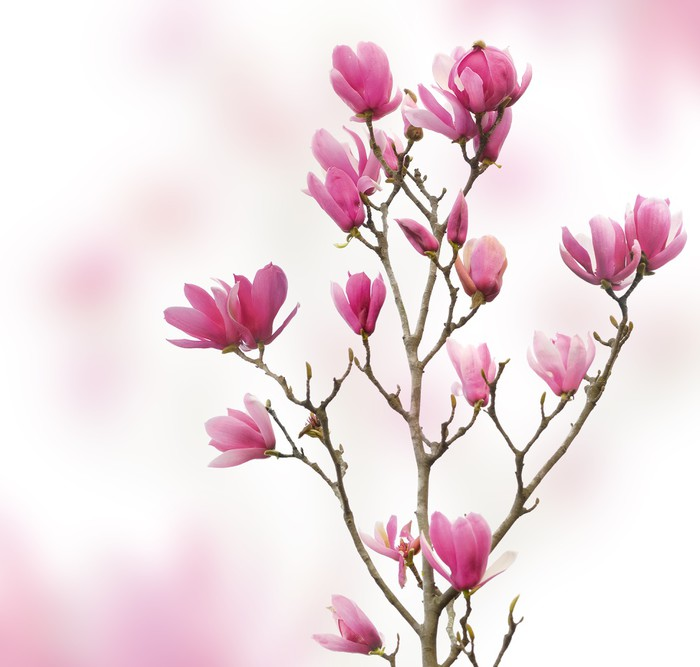 Pink magnolia flowers isolated on white background wall mural pink magnolia flowers isolated on white background vinyl wall mural themes mightylinksfo