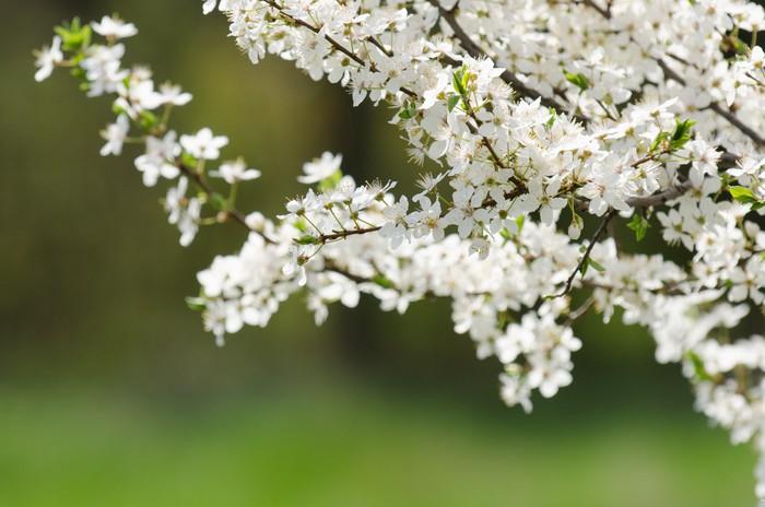 Vinylová Tapeta Plum třešňové květy - Roční období