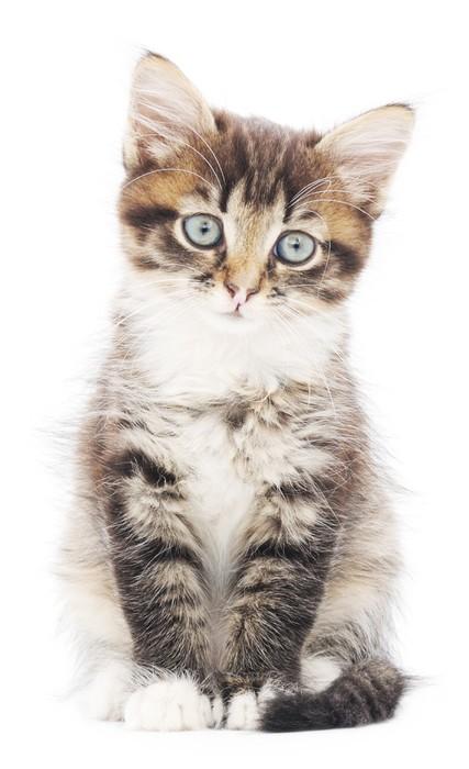 Nálepka Pixerstick Kotě na bílém pozadí - Témata