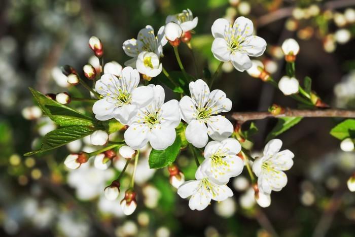 Vinylová Tapeta Pobočka kvetoucí třešní v jarní zahradě - Stromy