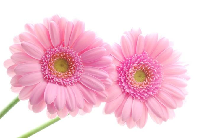fototapete close up von zwei rosa gerbera blumen vor wei em hintergrund pixers wir leben. Black Bedroom Furniture Sets. Home Design Ideas