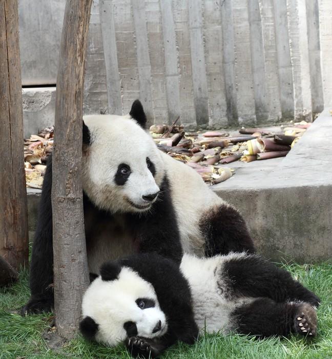 Vinylová Tapeta Panda s jeho mládě Úsměv - Témata