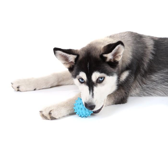 Vinilo Pixerstick Hermoso cachorro husky lindo, aislado en blanco ...