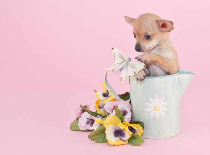Vinylová Tapeta Chihuahua Puppy - Savci