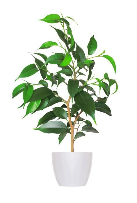 papier peint plante d 39 int rieur yang pousse de ficus une plante en pot isol sur w pixers. Black Bedroom Furniture Sets. Home Design Ideas