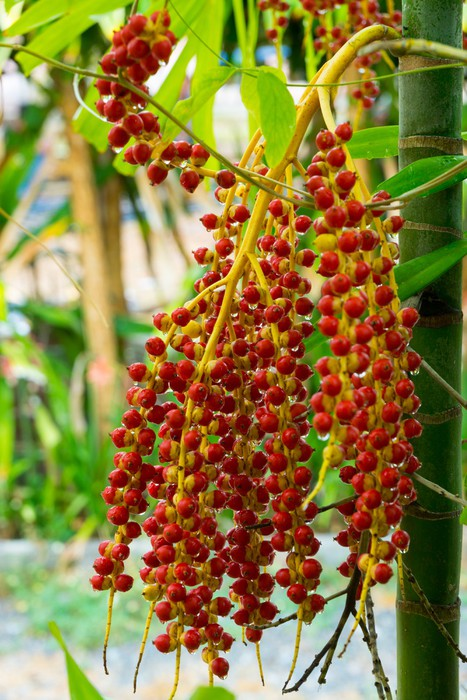Vinylová Tapeta Tropické palmové plody - Rostliny