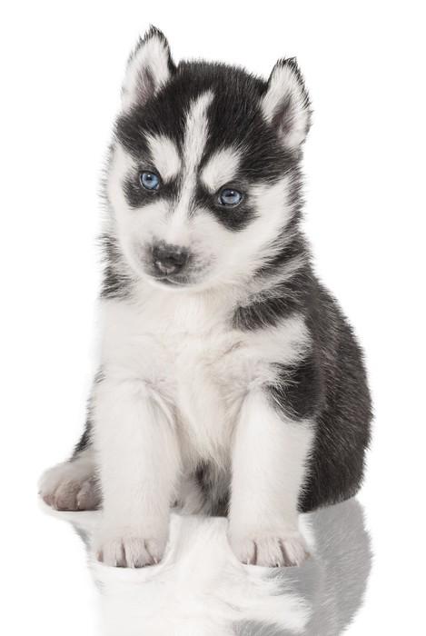 Vinilo Pixerstick Cachorro Retrato - Husky • Pixers® - Vivimos para ...