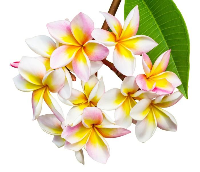 Vinylová Tapeta Leelawadee květina - Květiny