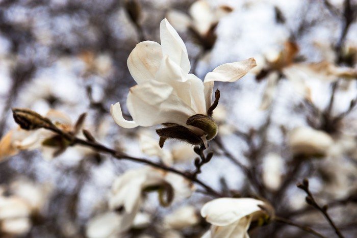 White flowers of the magnolia tree in early spring wall mural white flowers of the magnolia tree in early spring vinyl wall mural seasons mightylinksfo