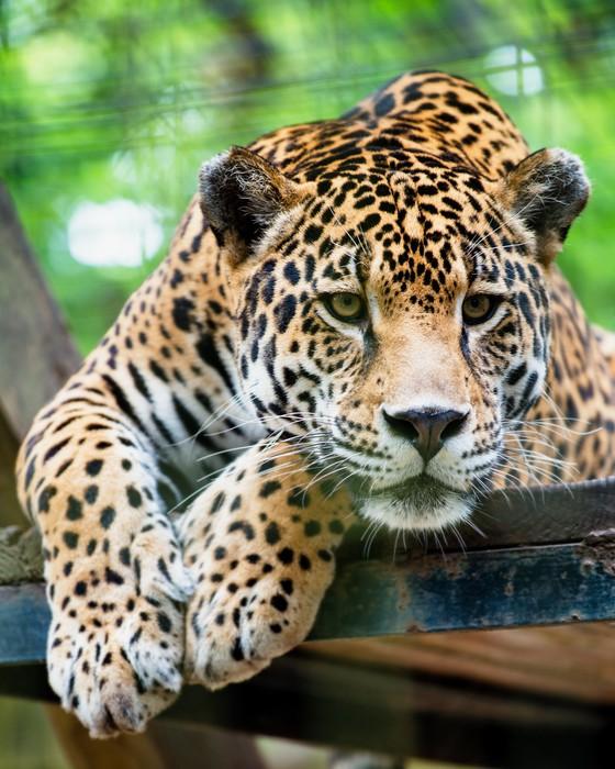 Papier Peint Vinyle Jaguar Amérique du Sud -