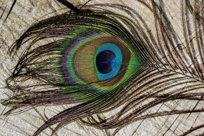 Veren In Huis : Fotobehang pauw veren pauw decoratie kleurrijke veren u2022 pixers