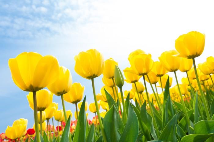 Vinylová Tapeta Žluté tulipány - Témata