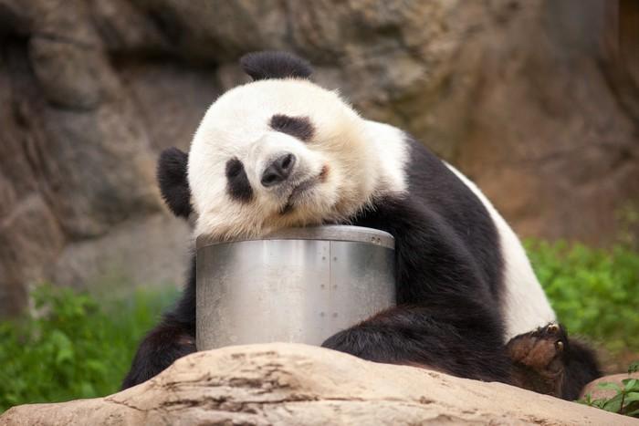 Vinylová Tapeta Schlafender Panda - Témata