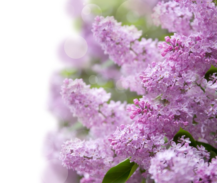 lilac purple flowers Wall Mural Pixers We live to change