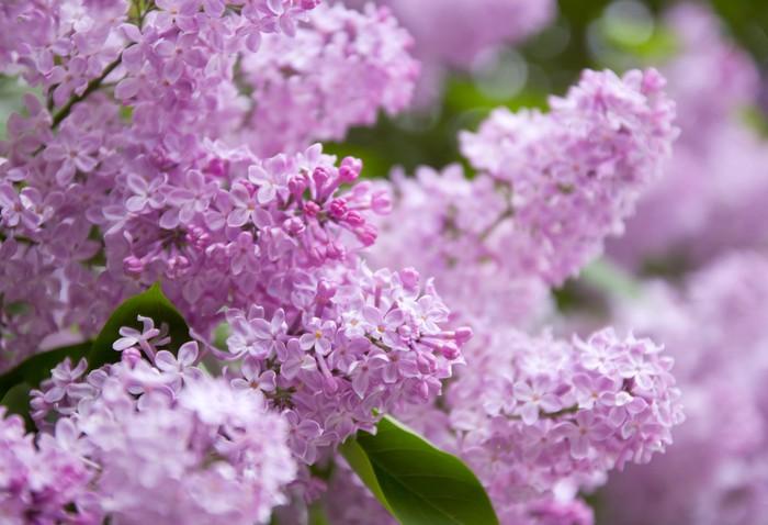 Vinylová Tapeta Lila fialové květy - Roční období