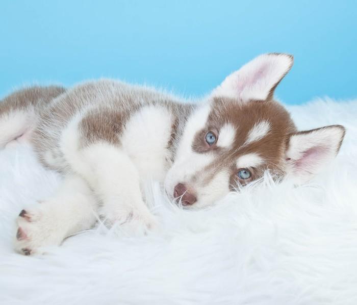 Vinylová Tapeta Sleepy Husky Puppy - Savci