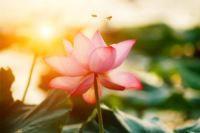 Carta Da Parati Fiori Di Loto : Carta da parati fiore di loto fiore u pixers viviamo per il