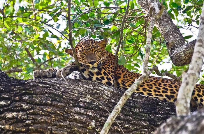 Vinylová Tapeta Srí Lanka Leopard - Herečka tapety - Savci