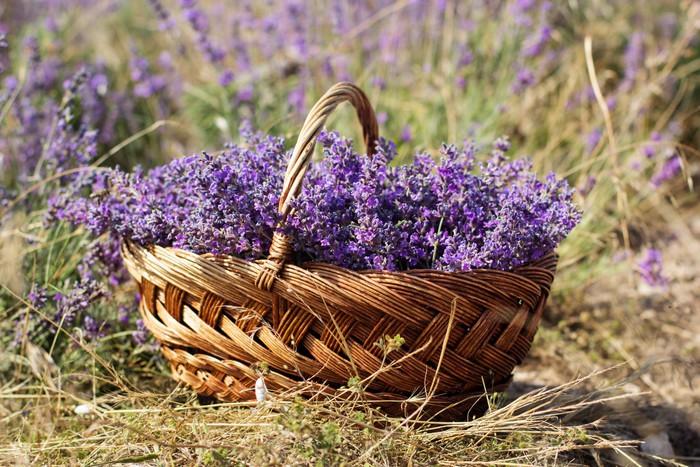 Papel Pintado Estándar Campo púrpura de flores de lavanda - Campos