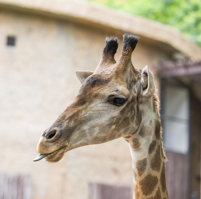Vinylová Tapeta Giraffee hlava - Savci
