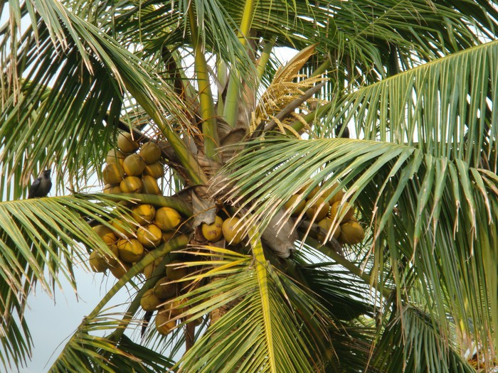 Papier peint les jeunes noix de coco poussent sur un - Palmier noix de coco ...