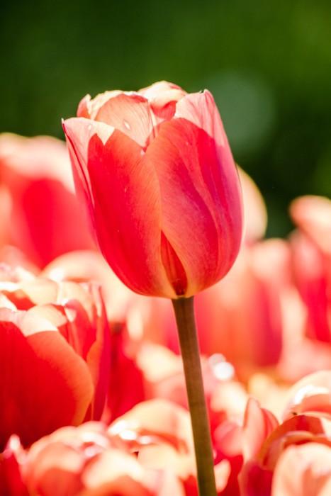 Vinylová Tapeta Krásné barevné tulipány v zelené zahradě Istanbulu - Květiny