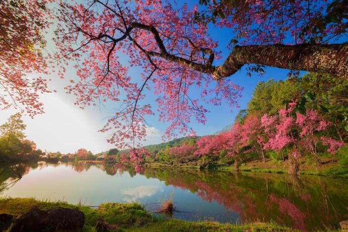 tableau sur toile fleurs de cerisier au printemps pixers nous vivons pour changer. Black Bedroom Furniture Sets. Home Design Ideas