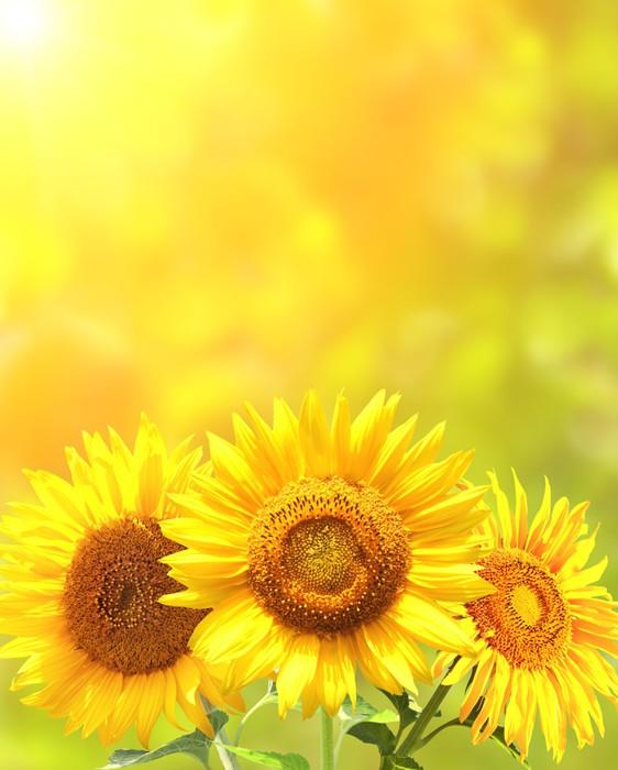 Vinylová Tapeta Zářivě žluté slunečnice - Témata