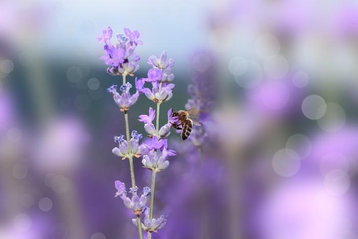 Vinylová Tapeta Včela na kvetoucí levandule květiny detailní - Ostatní Ostatní