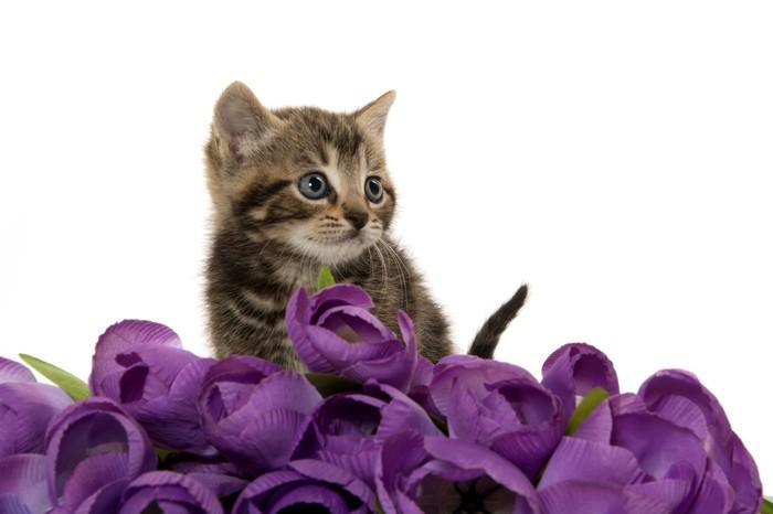 Vinylová Tapeta Roztomilé kotě s fialovými květy - Savci